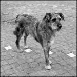 perro callejero bcg