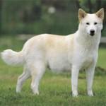 perro de raza bcg